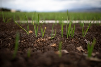 Garlic sprouts are photographed on land that belongs to Christopher Ranch in Gilroy, Calif., on Wednesday, Jan. 9, 2019. (Randy Vazquez/Bay Area News Group)