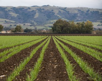 Rows of garlic are photographed on land that belongs to Christopher Ranch in Gilroy, Calif., on Wednesday, Jan. 9, 2019. (Randy Vazquez/Bay Area News Group)