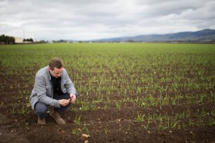 Harald Vaernes, operations manager at Christopher Ranch, pulls out a clove of garlic in Gilroy, Calif., on Wednesday, Jan. 9, 2019. (Randy Vazquez/Bay Area News Group)