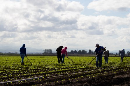 A workers clear weeds along rows of romaine lettuce at B&T Farms in Gilroy, Calif., on Tuesday, April 9, 2019. (Randy Vazquez/Bay Area News Group)