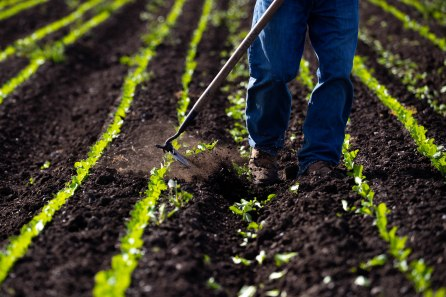 A worker clears weeds along a row of romaine lettuce at B&T Farms in Gilroy, Calif., on Tuesday, April 9, 2019. (Randy Vazquez/Bay Area News Group)