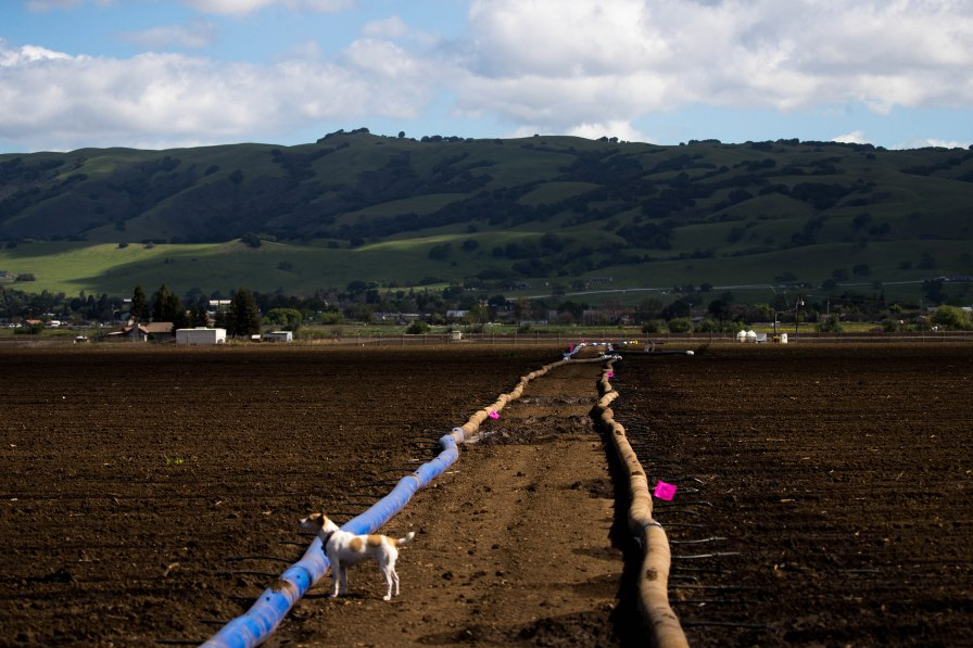 Paul Mirassou's dog Katie stands next to a sub-surface drip irrigation system that is used to water Napa cabbage at B&T Farms in Gilroy, Calif., on Tuesday, April 9, 2019. (Randy Vazquez/Bay Area News Group)