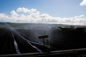 Sprinklers water a field of poblano peppers at B&T Farms in Gilroy, Calif., on Tuesday, April 9, 2019. (Randy Vazquez/Bay Area News Group)