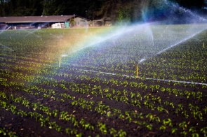 A rainbow appears as a field of poblano peppers is watered at B&T Farms in Gilroy, Calif., on Tuesday, April 9, 2019. (Randy Vazquez/Bay Area News Group)